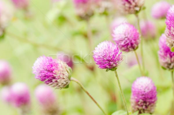 Wereldbol vrijgezel knop bloem macro Stockfoto © sweetcrisis