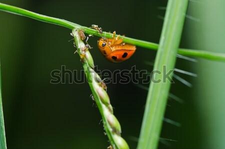 Coccinelle vert nature jardin printemps oeil Photo stock © sweetcrisis