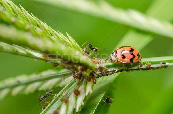 Ladybug зеленый природы завода саду весны Сток-фото © sweetcrisis