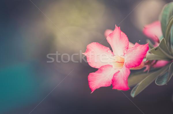 Desert Rose or Impala Lily or Mock Azalea flower vintage Stock photo © sweetcrisis