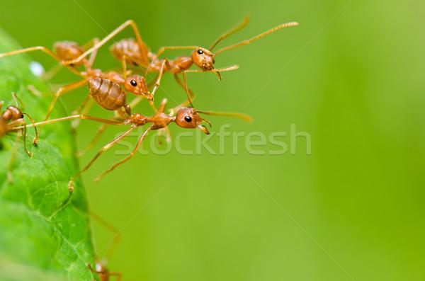 Piros hangya zöld természet kert Stock fotó © sweetcrisis