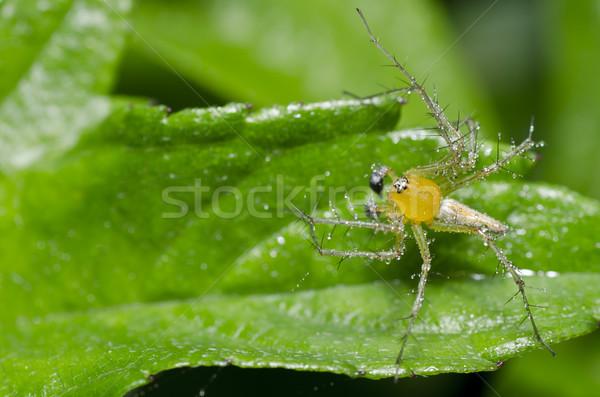 Hosszú lábak pók zöld természet zöld levél tavasz Stock fotó © sweetcrisis