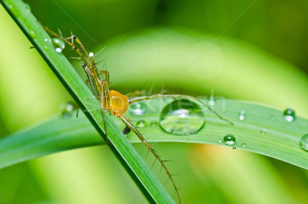 Longues jambes araignée vert nature forêt jardin Photo stock © sweetcrisis