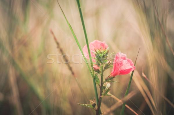 Flor-de-rosa vintage jardim natureza parque Tailândia Foto stock © sweetcrisis
