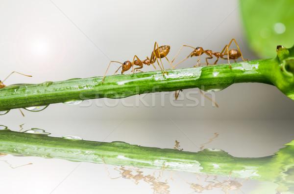 Piros hangya zöld természet erdő Stock fotó © sweetcrisis