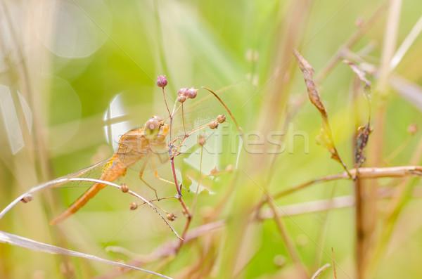 Libel macro natuur tuin Stockfoto © sweetcrisis