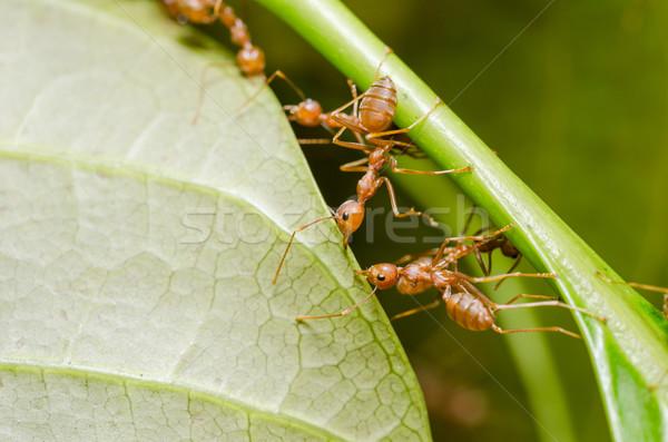 Piros hangyák csapatmunka levél csapat Stock fotó © sweetcrisis