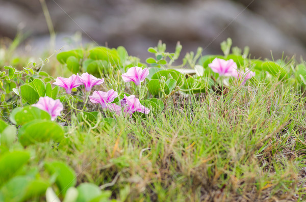 Sabah şan çiçekler aile doğa bahçe Stok fotoğraf © sweetcrisis