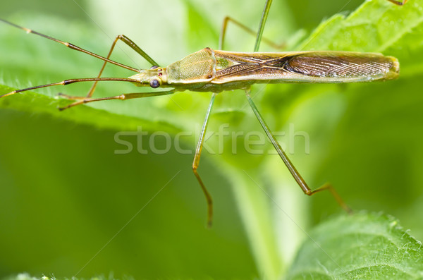 daddy-long-legs in green nature Stock photo © sweetcrisis