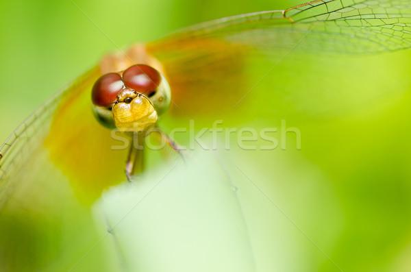 ストックフォト: トンボ · 庭園 · 緑 · 自然 · 美しい · 昆虫
