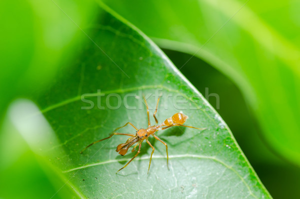 Ant mimic spider - male Stock photo © sweetcrisis