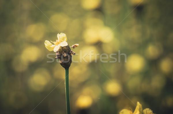 Xyris yellow flowers vintage Stock photo © sweetcrisis