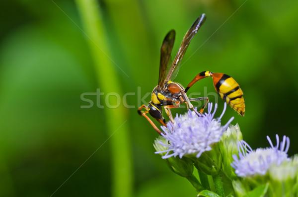 黄色 ワスプ 緑 自然 庭園 ストックフォト © sweetcrisis