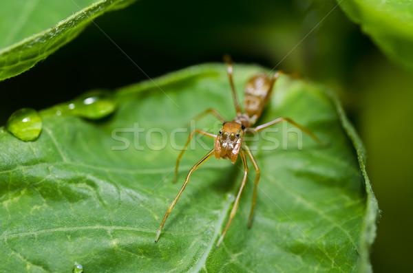 Hangya pók zöld levél zöld természet tavasz Stock fotó © sweetcrisis