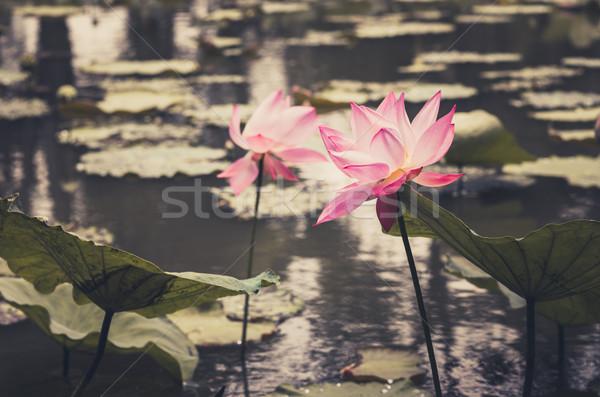 Lotus воды Лилия цветок Vintage пруд Сток-фото © sweetcrisis