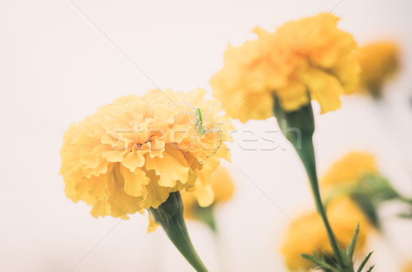 Stock photo: Marigolds or Tagetes erecta flower vintage