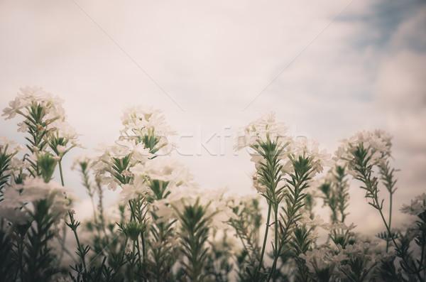Flor blanca vintage jardín naturaleza parque Tailandia Foto stock © sweetcrisis