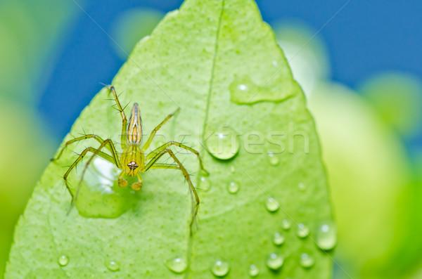 Hosszú lábak pók zöld természet erdő tavasz Stock fotó © sweetcrisis