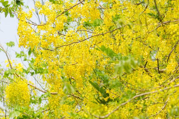 Arany zuhany virág virágoskert természet park Stock fotó © sweetcrisis