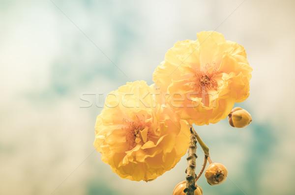 Yellow Silk Cotton or Cochlospermum regium Stock photo © sweetcrisis