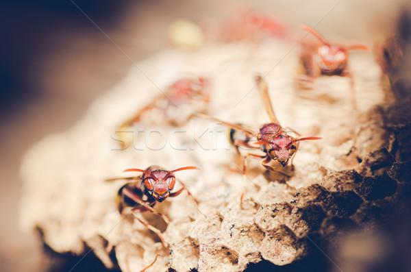 ワスプ 巣 ブラウン コロニー 昆虫 白 ストックフォト © sweetcrisis