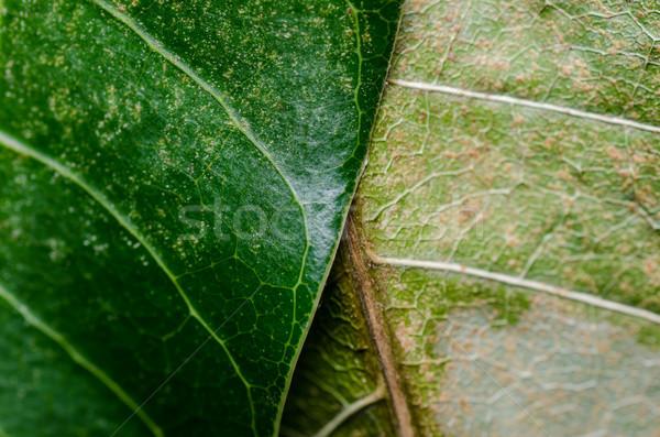 Macro leaf of mango Stock photo © sweetcrisis