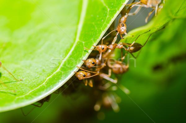 Rouge fourmi travail d'équipe vert nature jardin Photo stock © sweetcrisis