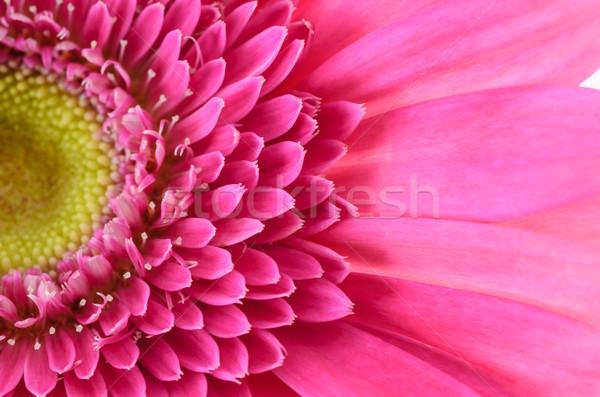 Pink gerbera daisy Stock photo © sweetcrisis