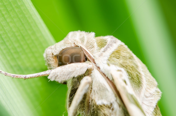 Moth in the nature Stock photo © sweetcrisis