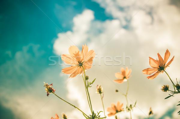 黄色 花 ヴィンテージ 青空 自然 空 ストックフォト © sweetcrisis