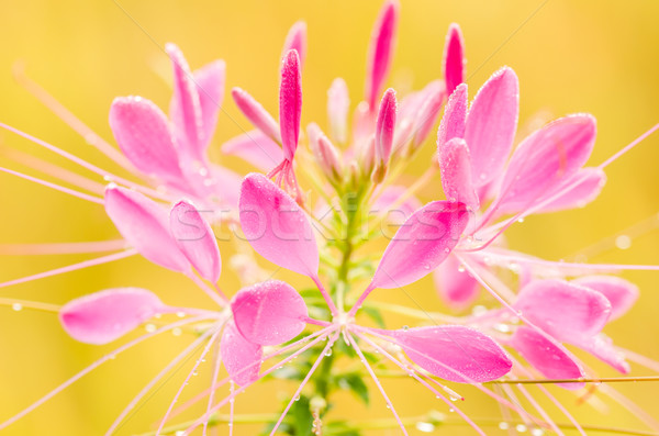 Cleome hassleriana or spider flower or spider plant Stock photo © sweetcrisis