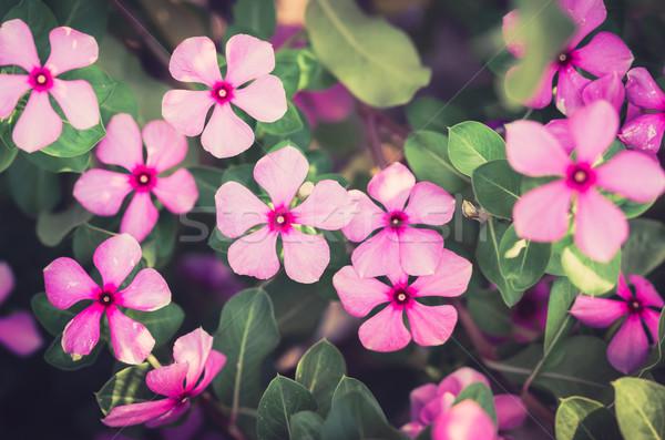 Foto stock: Vintage · Madagáscar · rosado · rosa · flor · grama