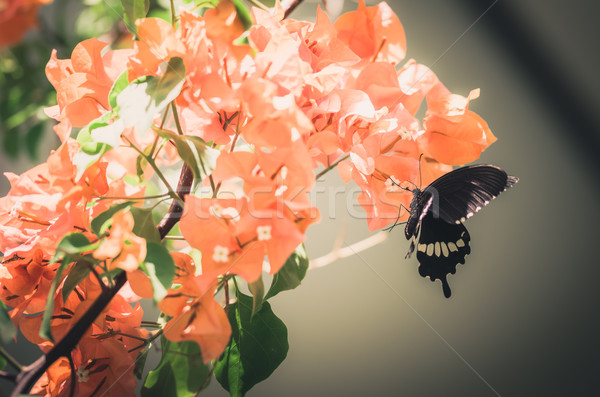 Stock photo: Paper flowers or Bougainvillea and butterfly vintage