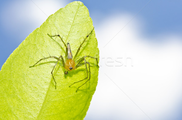 Longues jambes araignée ciel bleu feuille verte vert nature Photo stock © sweetcrisis
