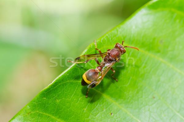 Darázs zöld természet kert méh fehér Stock fotó © sweetcrisis