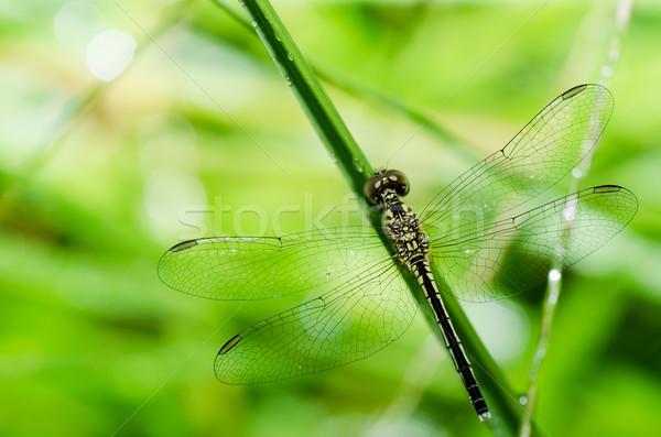Dragonfly makro ogród zielone charakter Zdjęcia stock © sweetcrisis