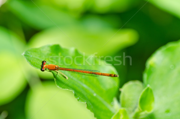 red damselfly in green nature Stock photo © sweetcrisis