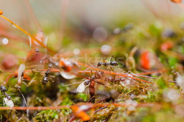 Formigas verde natureza jardim trabalhador preto Foto stock © sweetcrisis