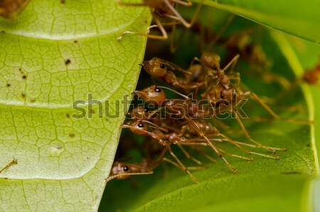 red ants team work Stock photo © sweetcrisis
