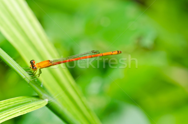 Stock photo: red damselfly or little dragonfly