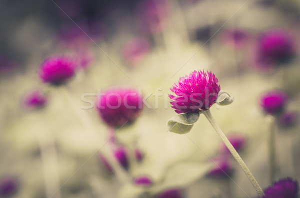 Globe Amaranth or Bachelor Button flower vintage Stock photo © sweetcrisis