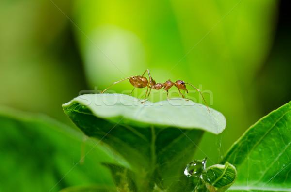 красный муравей зеленый природы лес Сток-фото © sweetcrisis