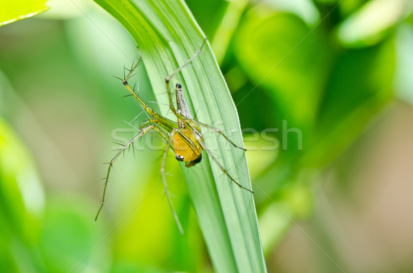 Longues jambes araignée vert nature jardin été Photo stock © sweetcrisis