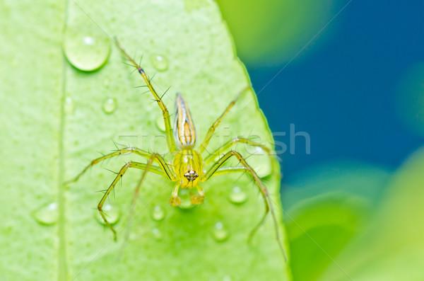 ストックフォト: 長い脚 · クモ · 緑 · 自然 · 森林 · 春