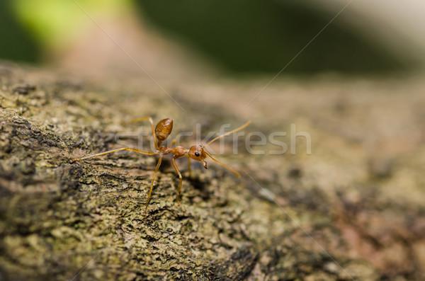 красный муравей зеленый природы саду работу Сток-фото © sweetcrisis