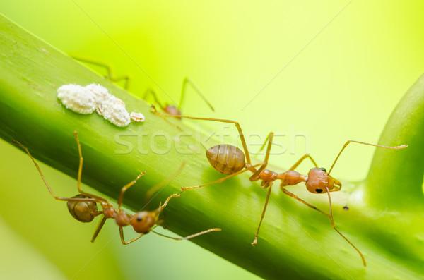 красный муравей лист природы саду черный Сток-фото © sweetcrisis