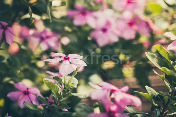 Catharanthus roseus or Periwinkle vintage Stock photo © sweetcrisis