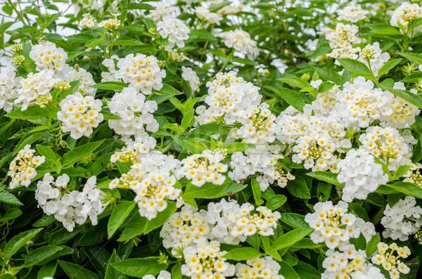 Salvia tela oro jardín de flores flor Foto stock © sweetcrisis