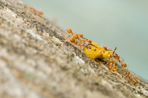 Mieren eten oranje kever groene natuur Stockfoto © sweetcrisis