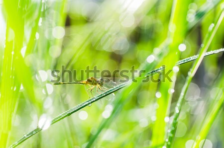 dragonfly and sunlight in garden Stock photo © sweetcrisis